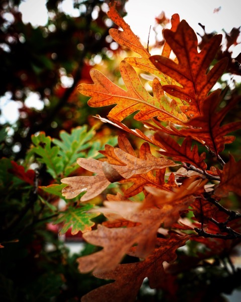 Autumn Oak Leaves, Columbia, Missouri via Instagram