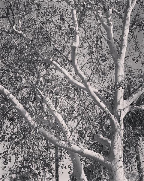 Sycamore In Autumn via Instagram