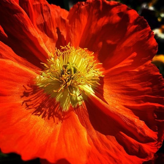 Oriental Poppy (Papaver) Closeup via Instagram