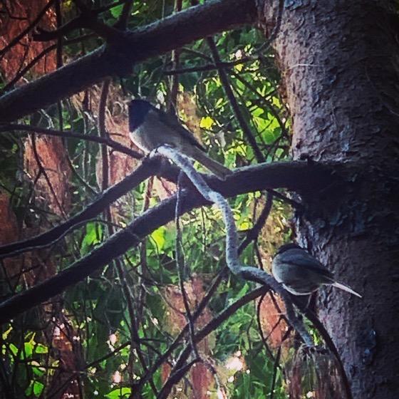 Western Junco Pair In The Garden via Instagram