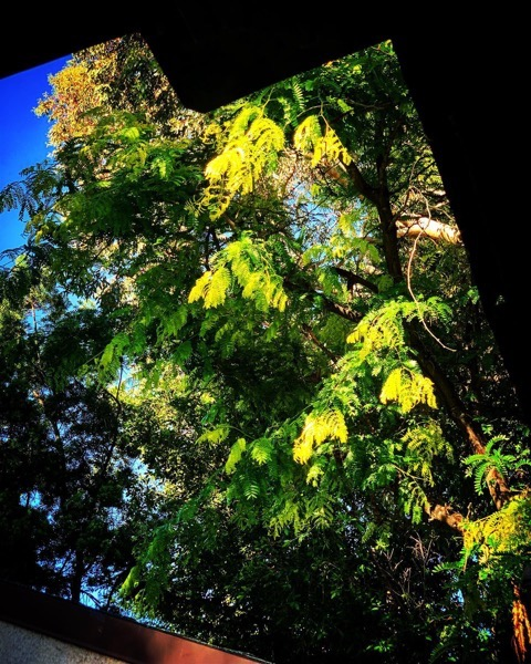Our Locust Tree Shines A Bright Green In The Evening Sun via Instagram