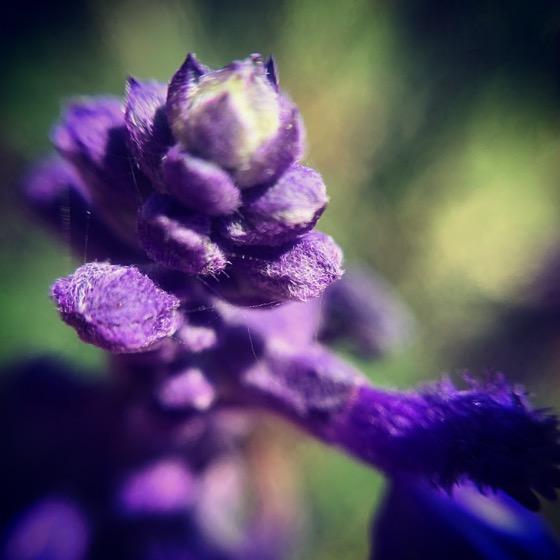 Mexican Sage Flowers Macro via Instagram