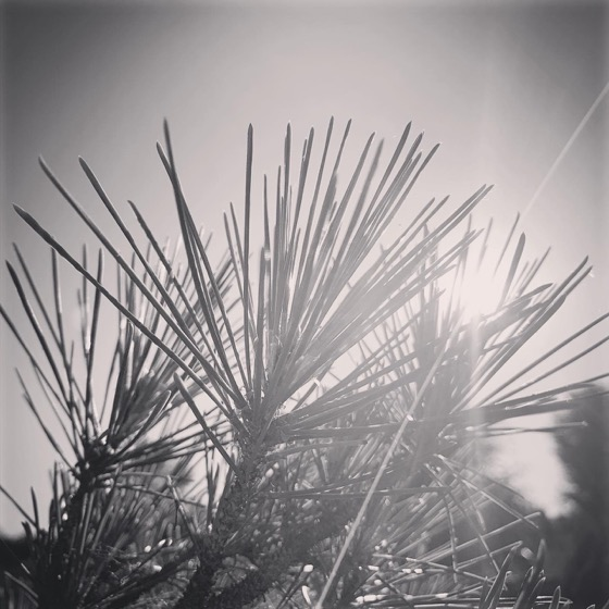 Pine Needles In The Sun via Instagram