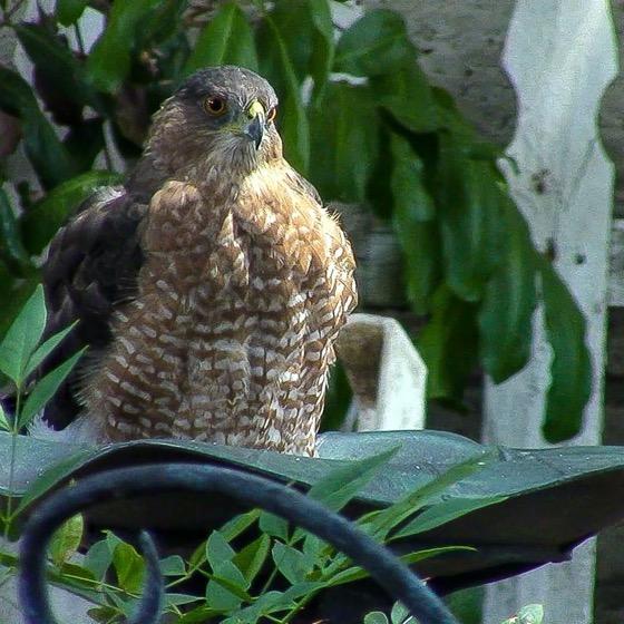Cooper's Hawk (Accipiter Cooperii) In The Garden via Instagram