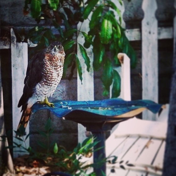 Cooper's Hawk (Accipiter Cooperii) In The Garden
