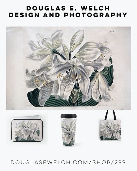 "New Design: Vintage Botanical Print ""White Cape – Coast Lily"" (1806) from Douglas E. Welch Design and Photography [For Sale]"