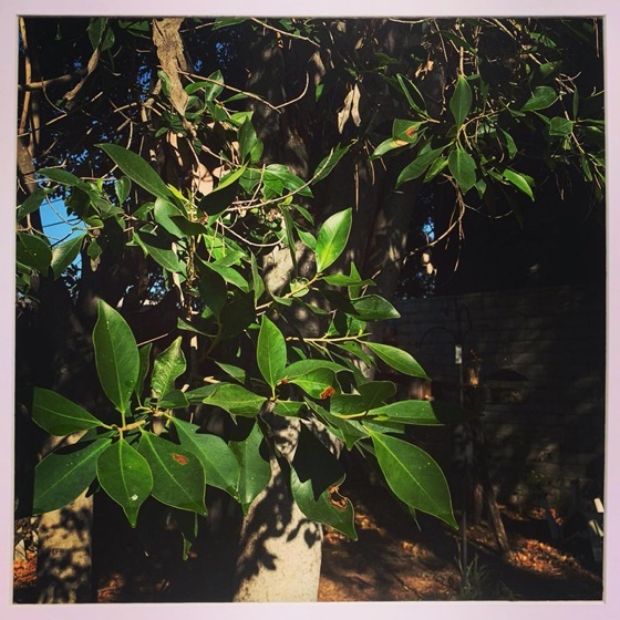 Ficus – One Square Foot – 14 in a series via Instagram