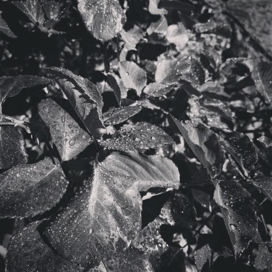 Rose leaves in black and white via Instagram