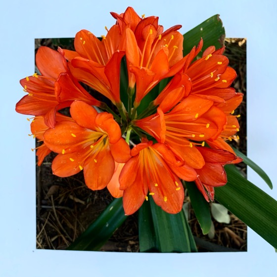 Clivia blooms – One Square Foot – 23 in a series via Instagram