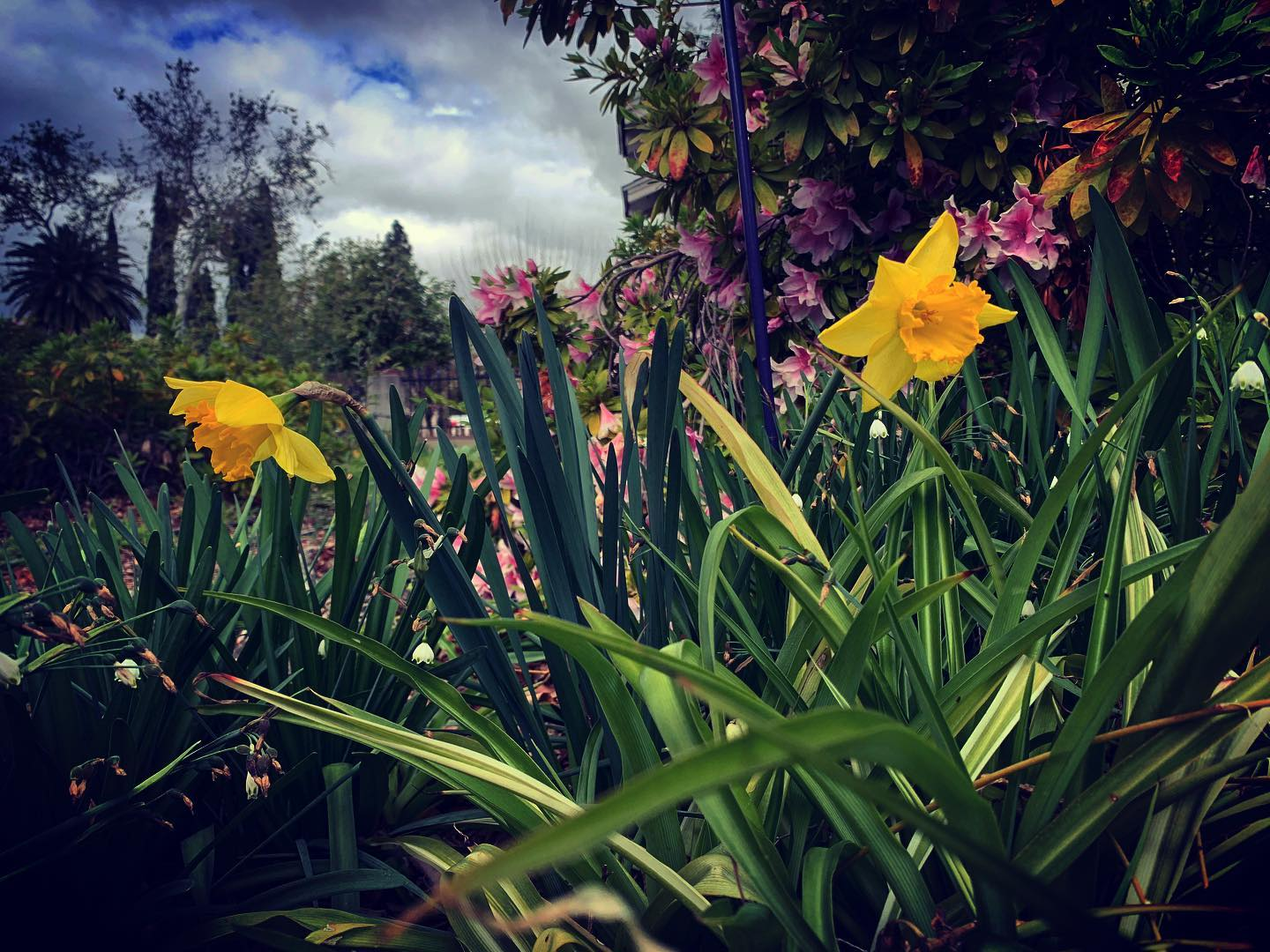 Daffodils, Snowflakes, and Azaleas in the Garden today via Instagram