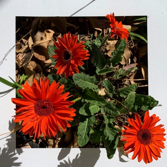 Gerbera Daisy – One Square Foot – 22 in a series