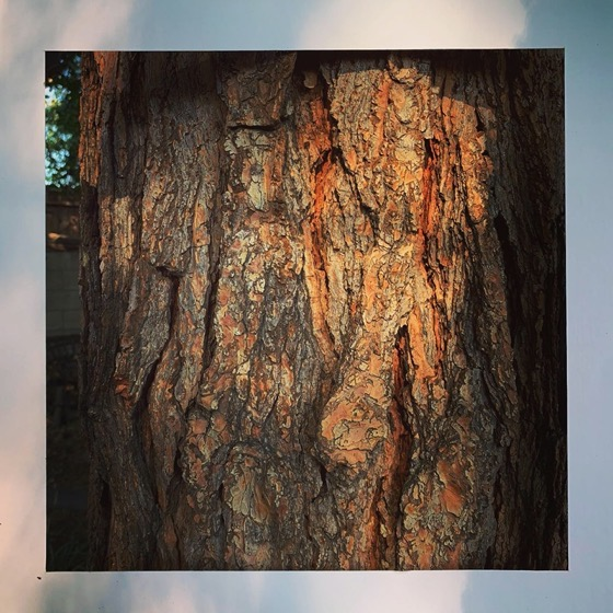 Pine Tree Bark – One Square Foot – 27 in a series via Instagram