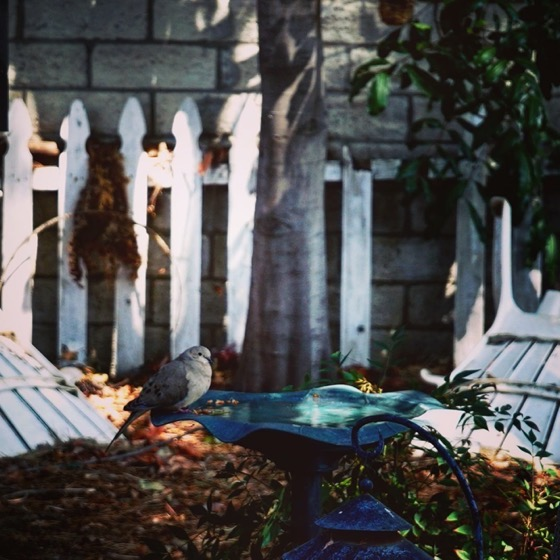 Mourning Dove At The Birdbath via Instagram