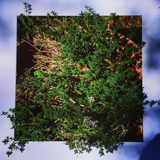 Lemon Thyme – One Square Foot – 36 in a series via Instagram