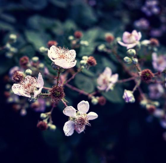 My Los Angeles 93: Wild blackberry blossoms in Lytle Creek via Instagram